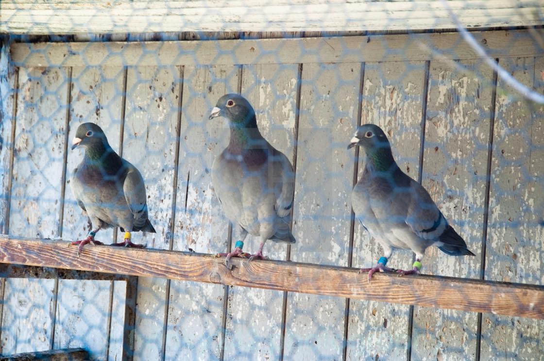 голуби разводимые во франции картинки значит