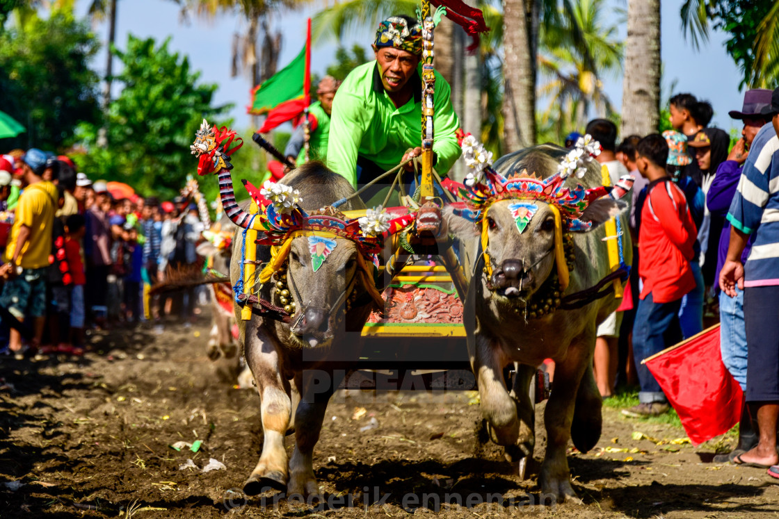 """Buffaloes Races Bali"" stock image"