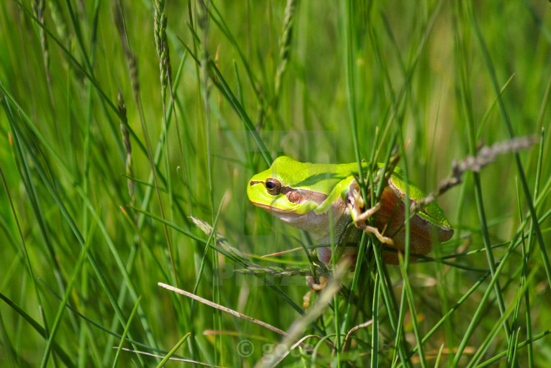 """green tree frog climb on grass"" stock image"
