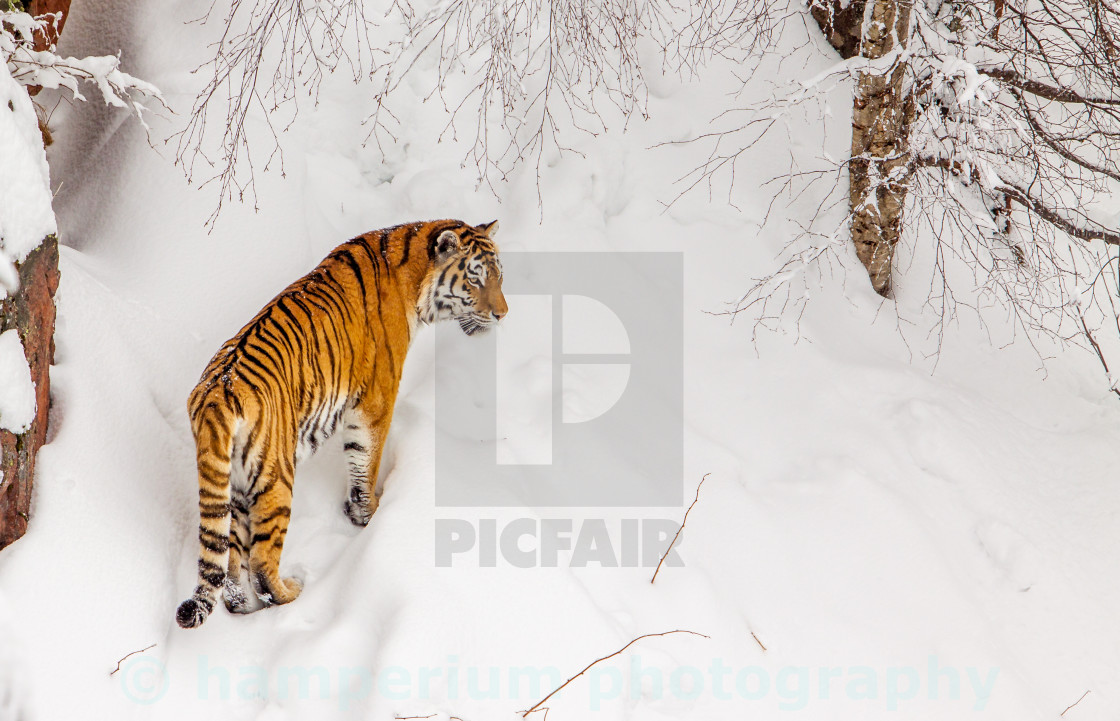 """Tiger"" stock image"