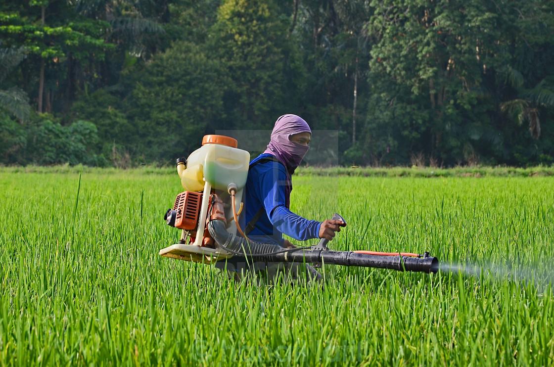 """rice farmer"" stock image"