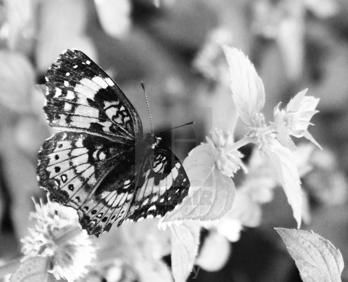 """""""black and white butterfly"""" stock image"""