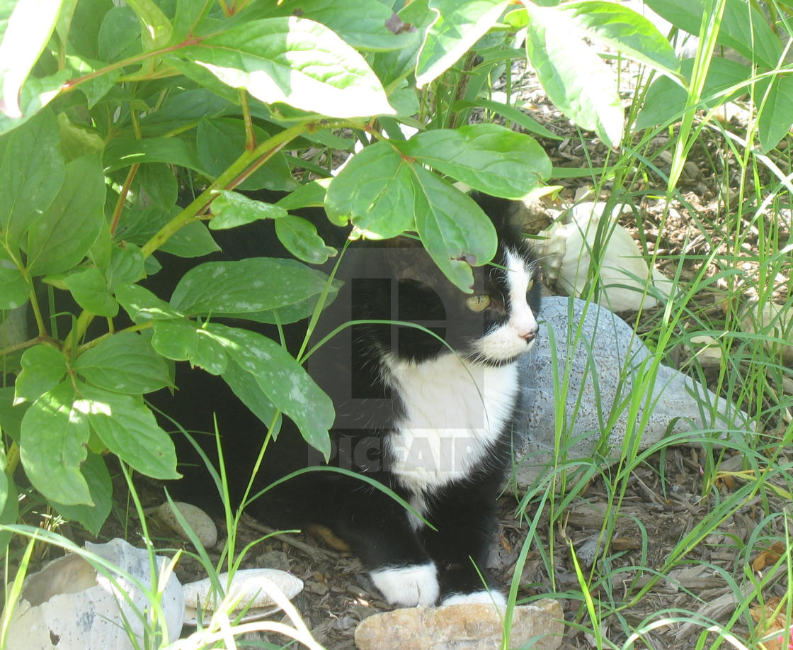 """black and white cat in the garden"" stock image"