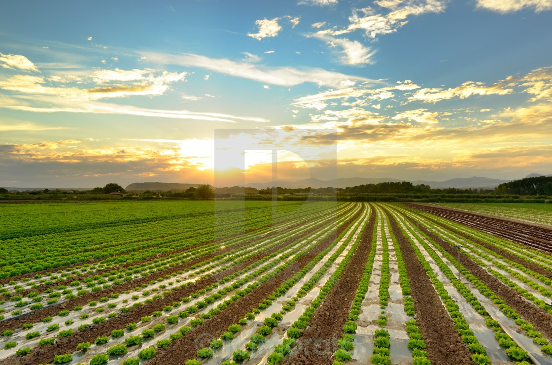 """lettuce cultivation"" stock image"