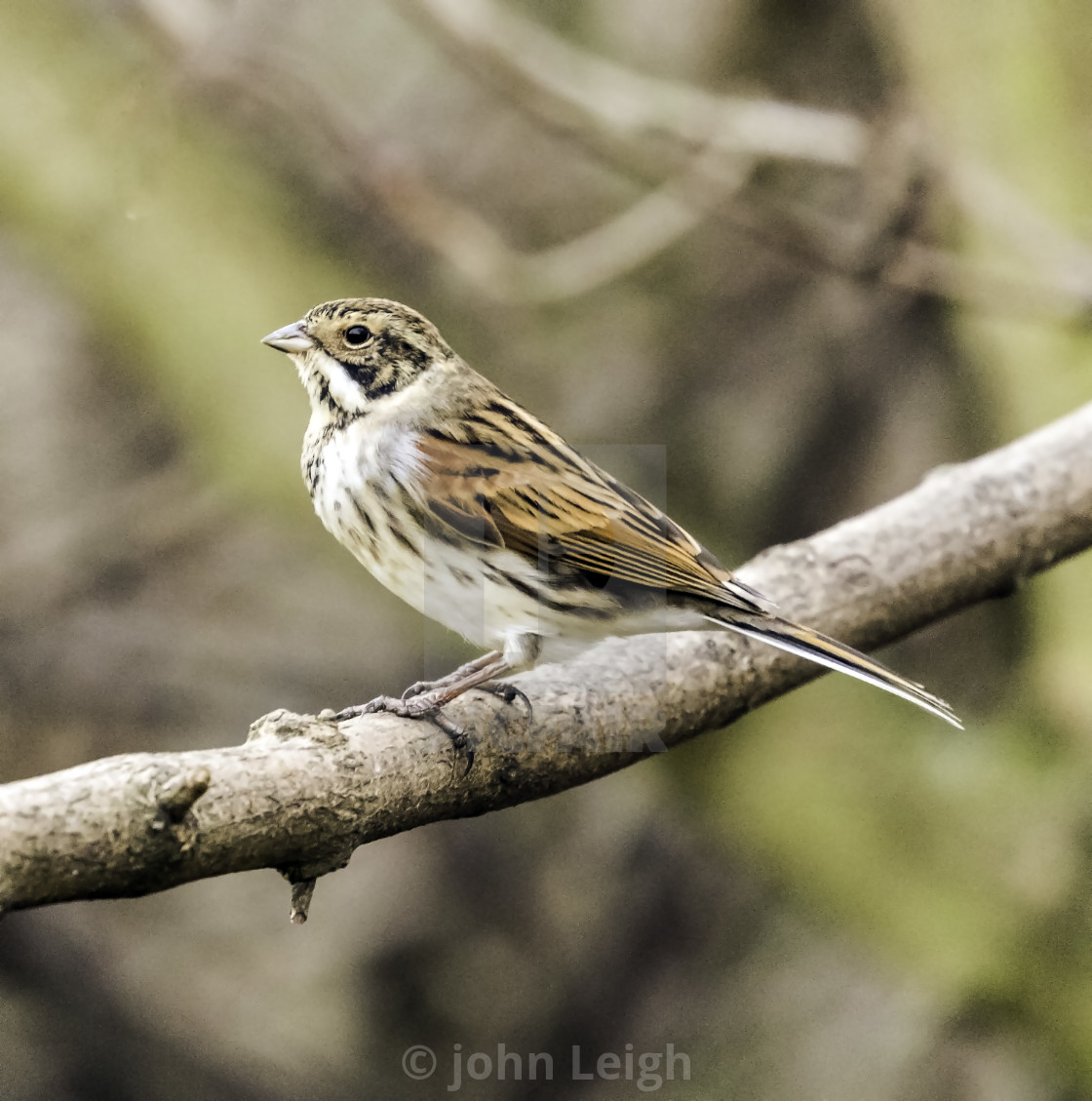 Reed Bunting In The Uk License Download Or Print For 12 40 Photos Picfair