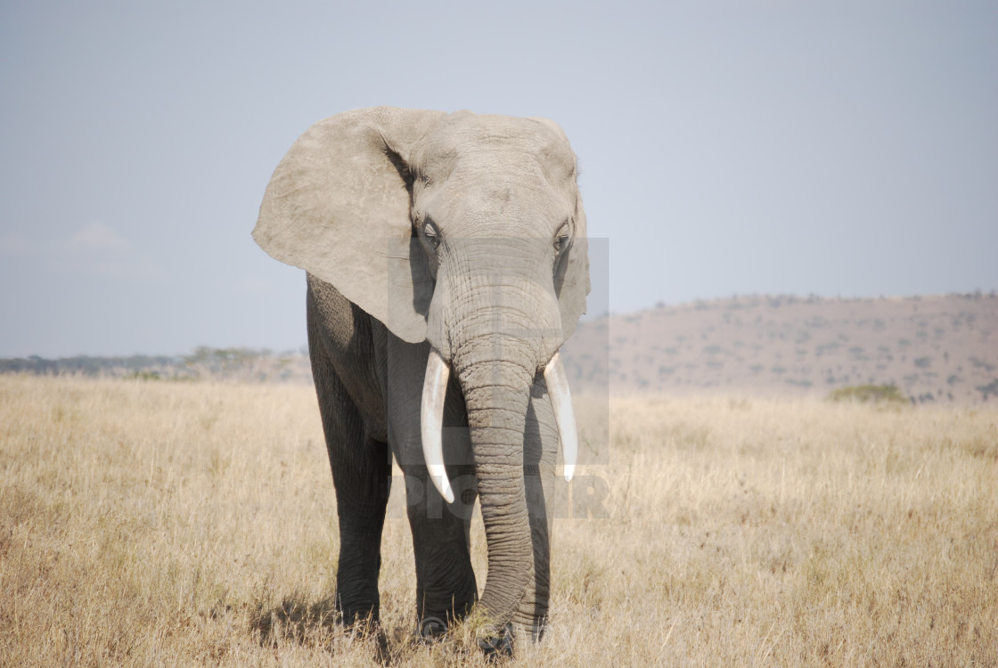 """""""Elephant"""" stock image"""