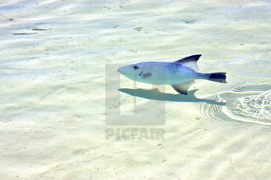 """""""fish isla contoy in mexico foam the wave"""" stock image"""