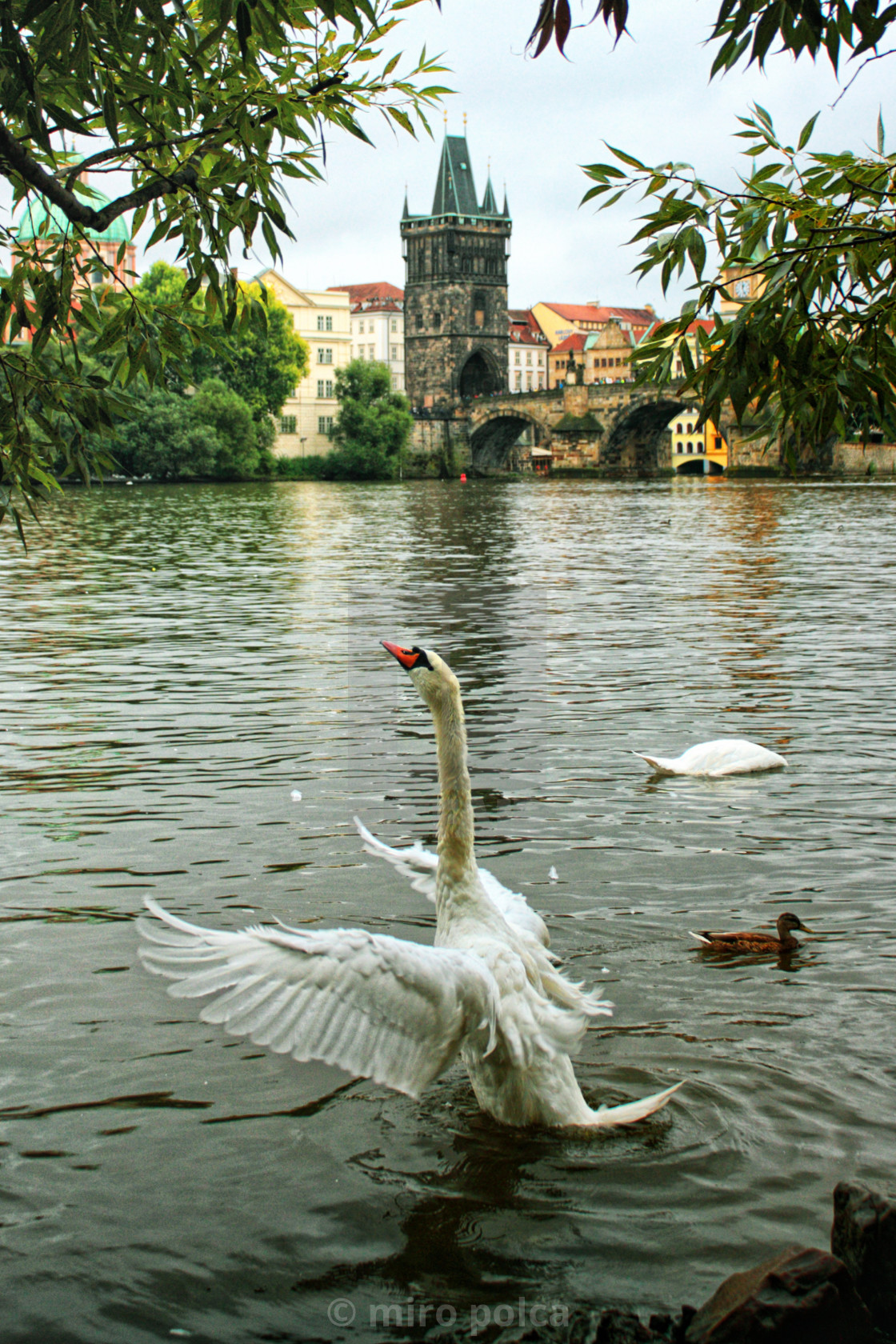 """The swan dance on the Vltava river"" stock image"