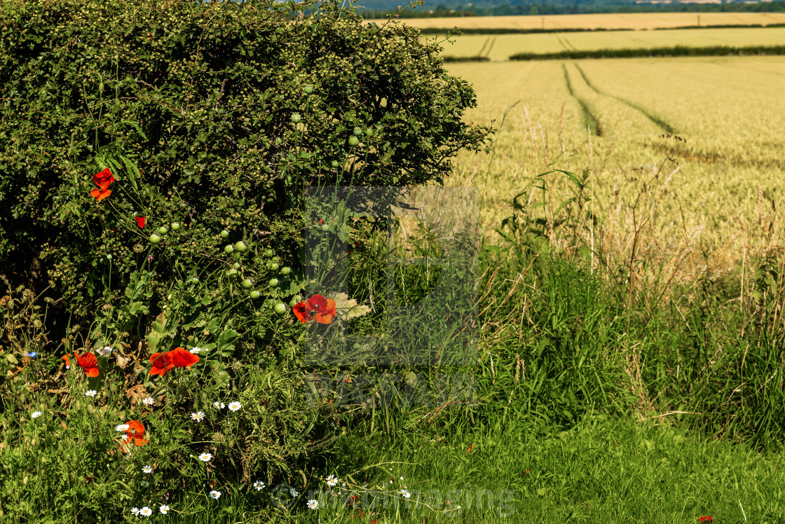 """""""Poppies and Barley"""" stock image"""