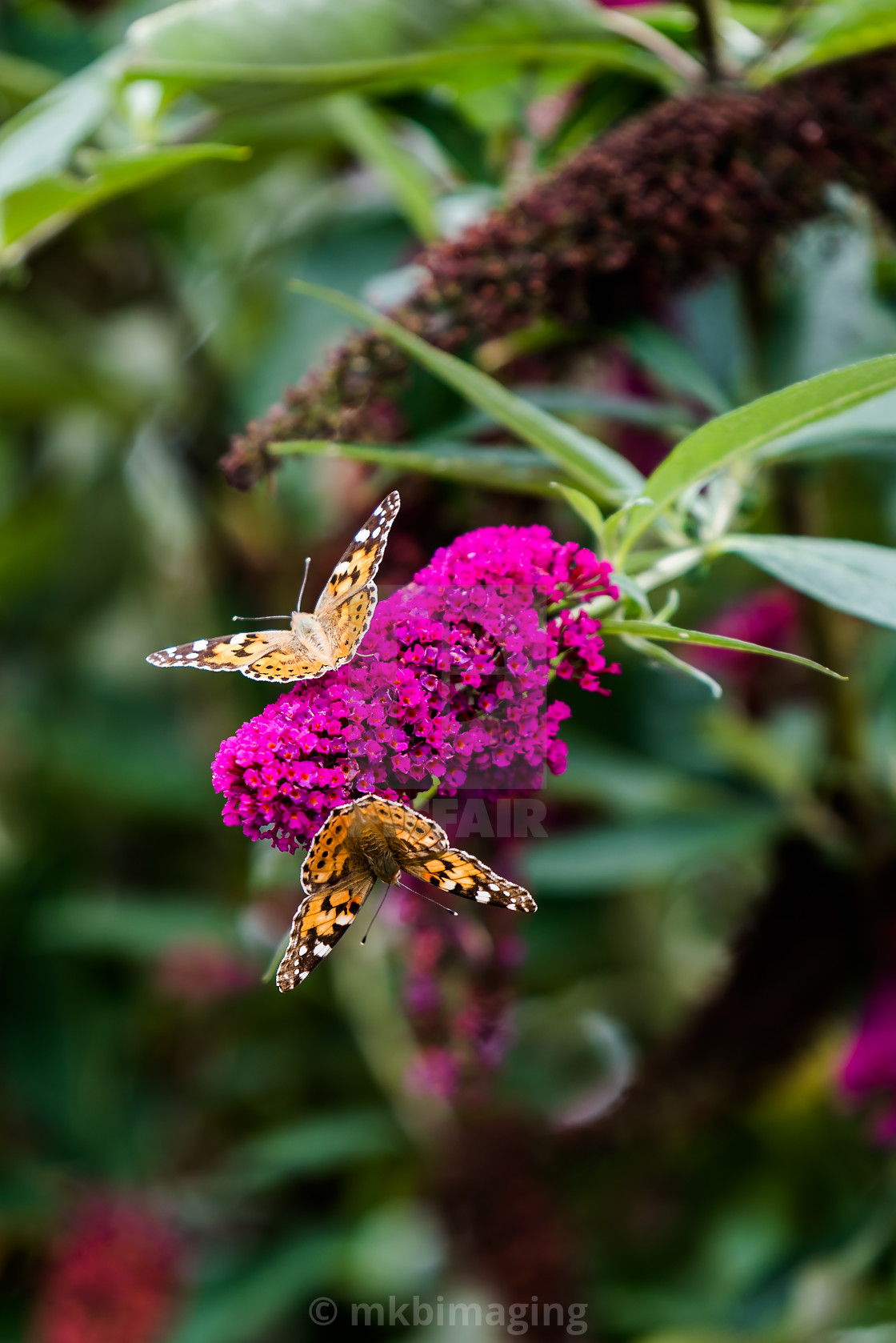 """Painted Lady Butterfly on Buddleja"" stock image"