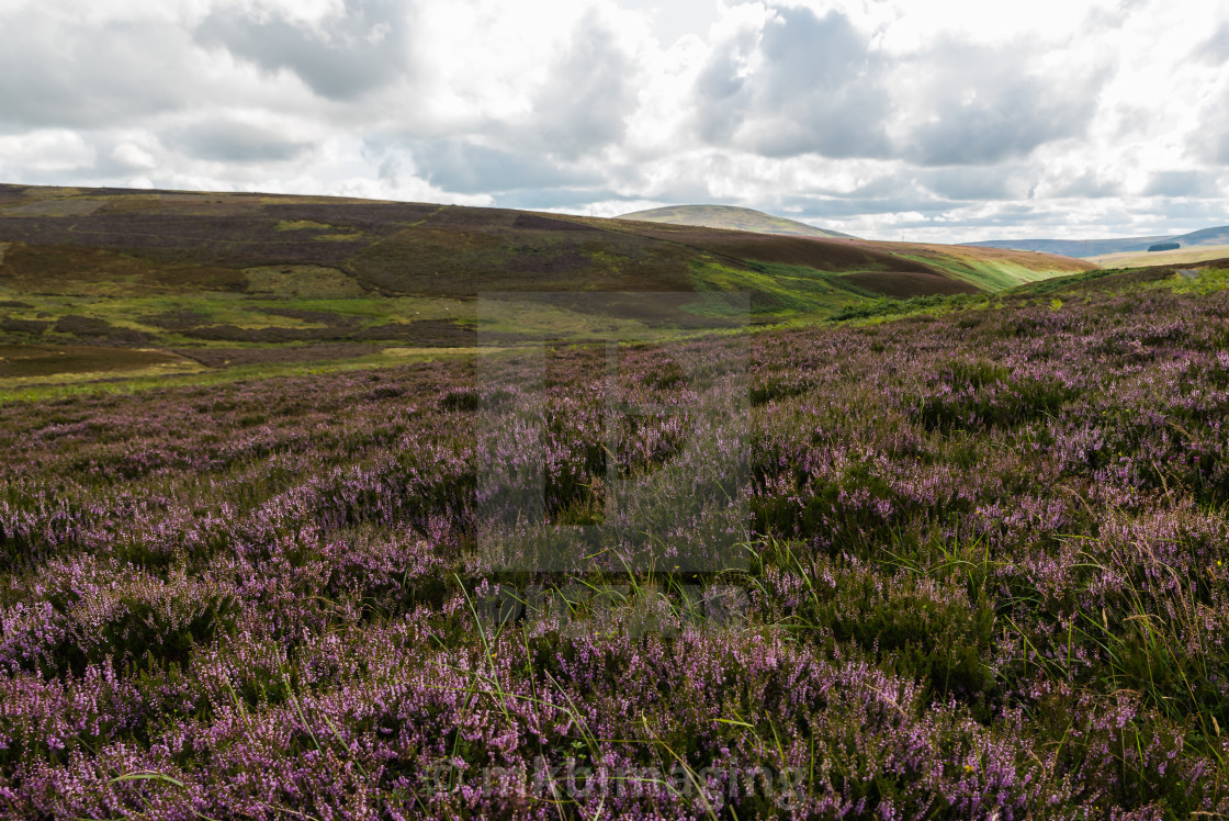 """Heather in Bloom in the Lammermuir Hills"" stock image"