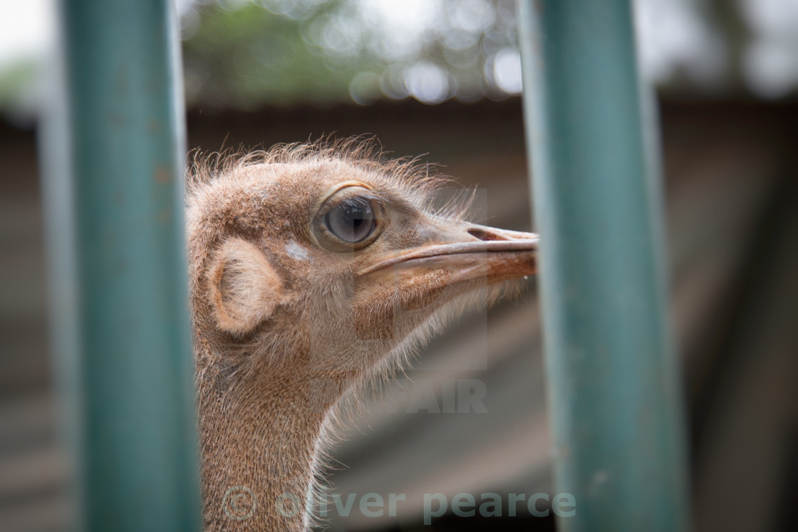 """""""Ostrich behind bars"""" stock image"""