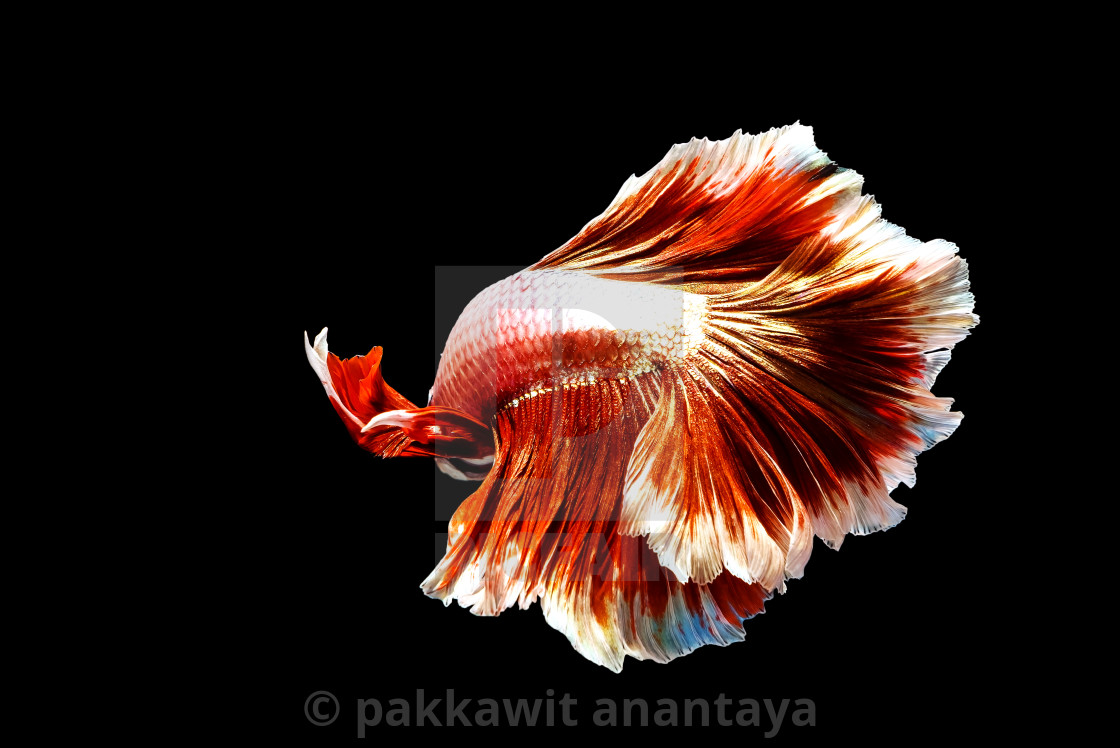 """Rear shot of thai fighting fish"" stock image"