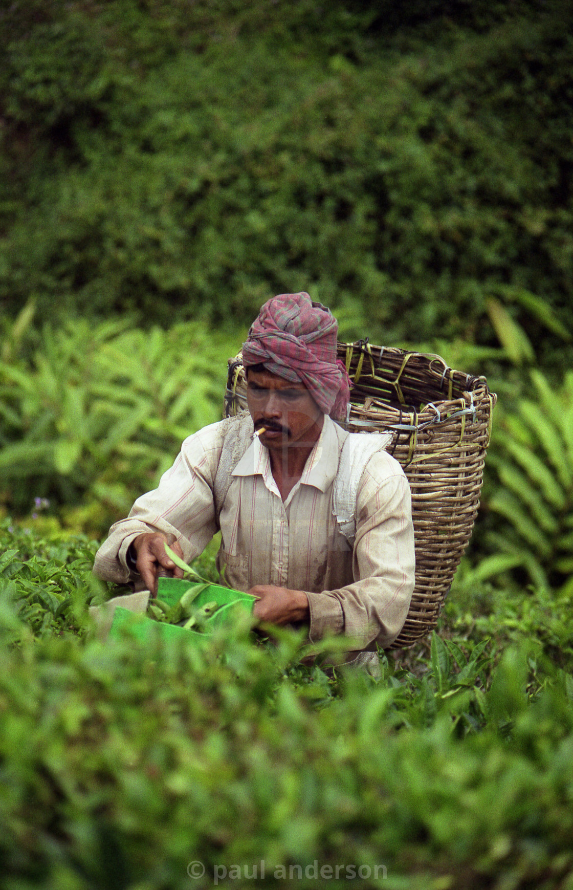 """A tea-picker in the Malaysian Highlands"" stock image"