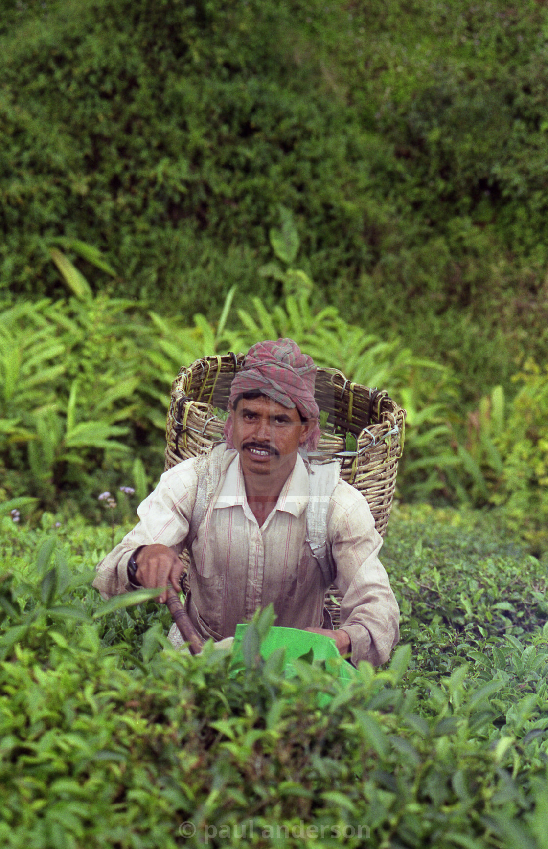 """A tea-picker in Malaysia"" stock image"