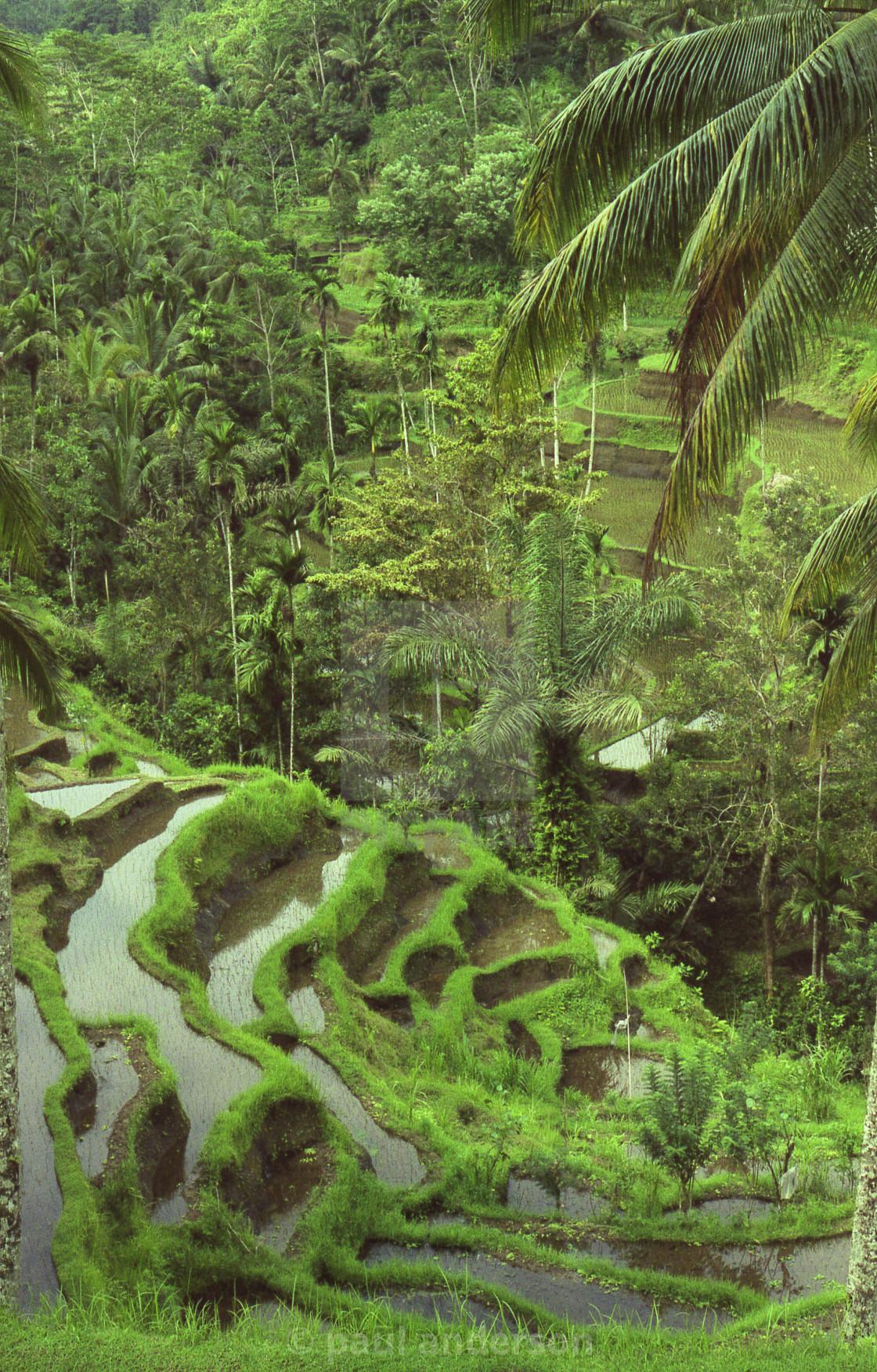 """Rice paddy in Bali"" stock image"