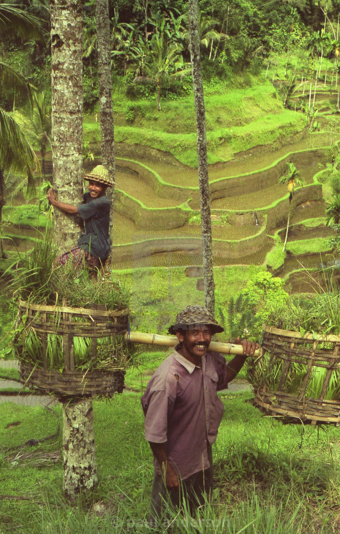 """Men in rice paddy, Bali, Indonesia"" stock image"