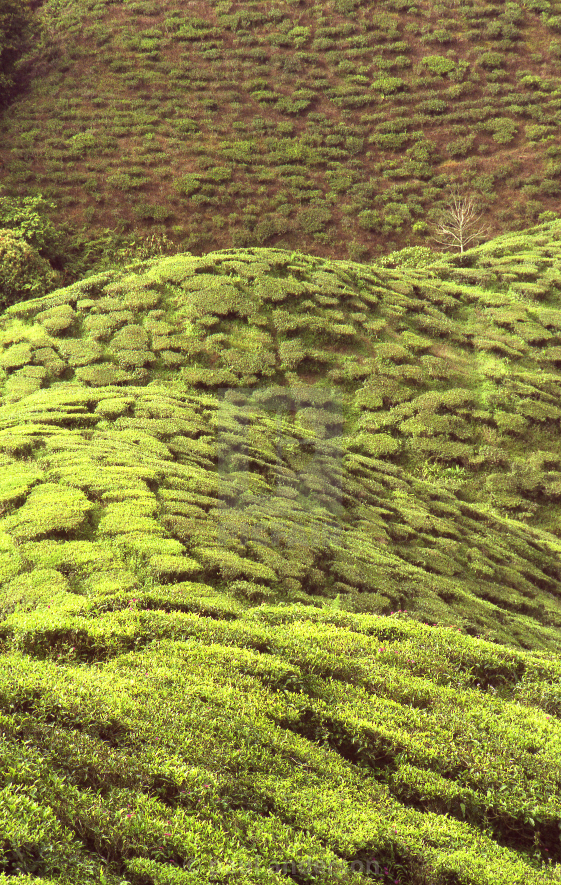 """Tea plantation, Malaysian Highlands"" stock image"
