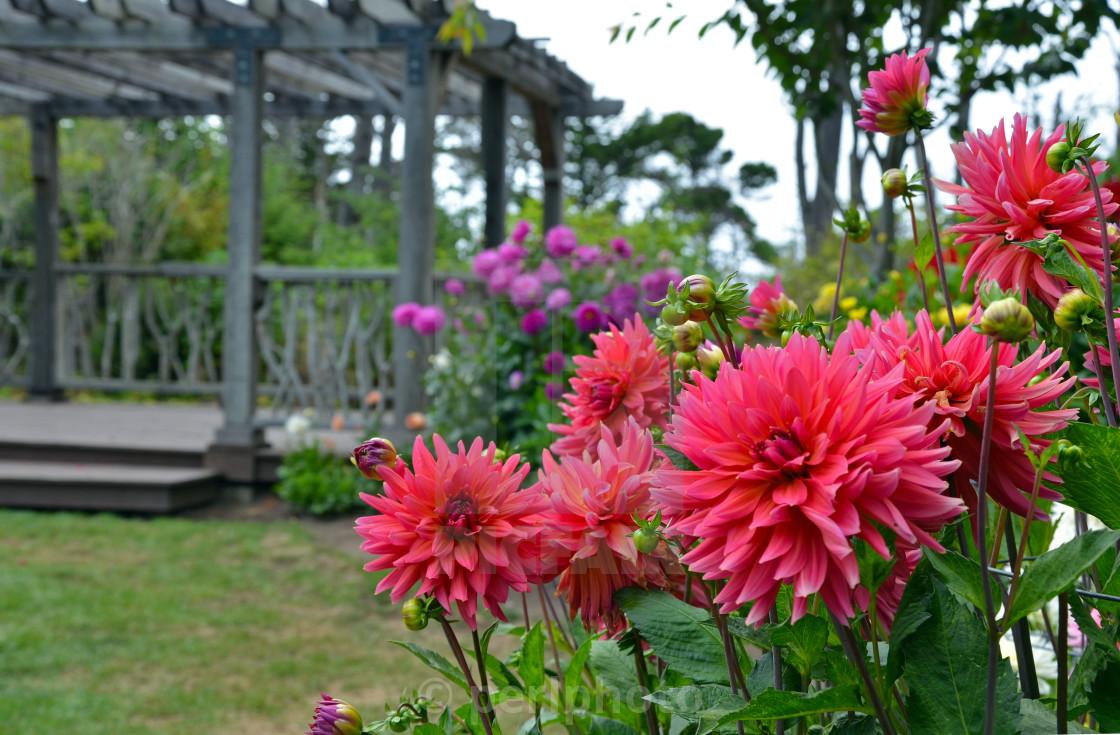 Pink Dahlia Flower Garden License For 620 On Picfair