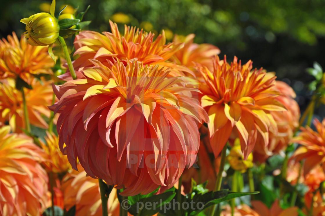 Beautiful Round Orange Dahlia Flowers License For 620 On Picfair