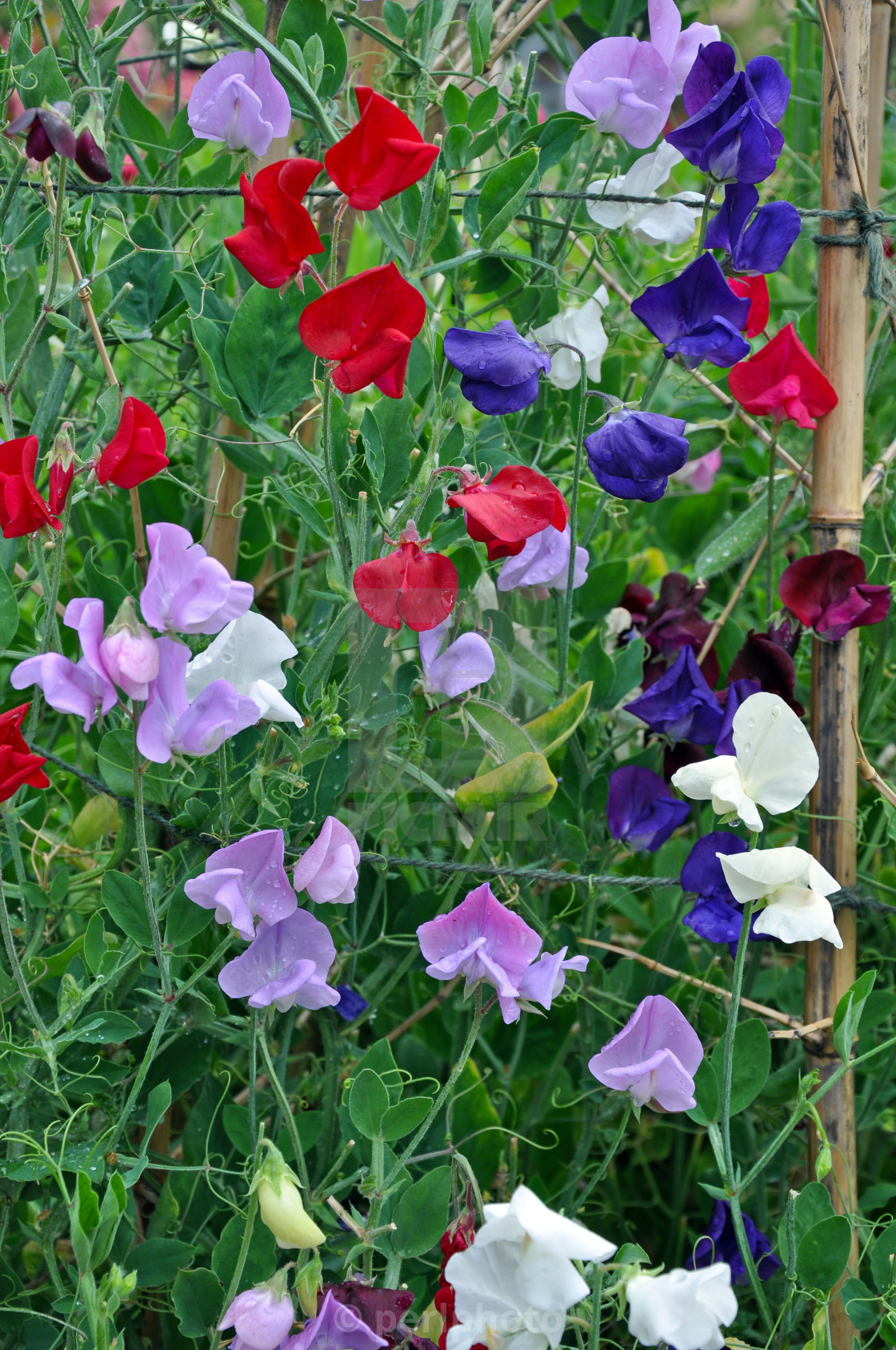 """""""Colorful sweet pea flowers"""" stock image"""