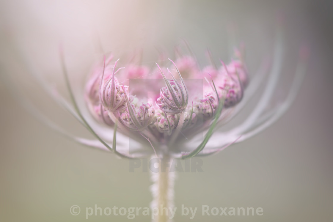 """queen annes lace"" stock image"