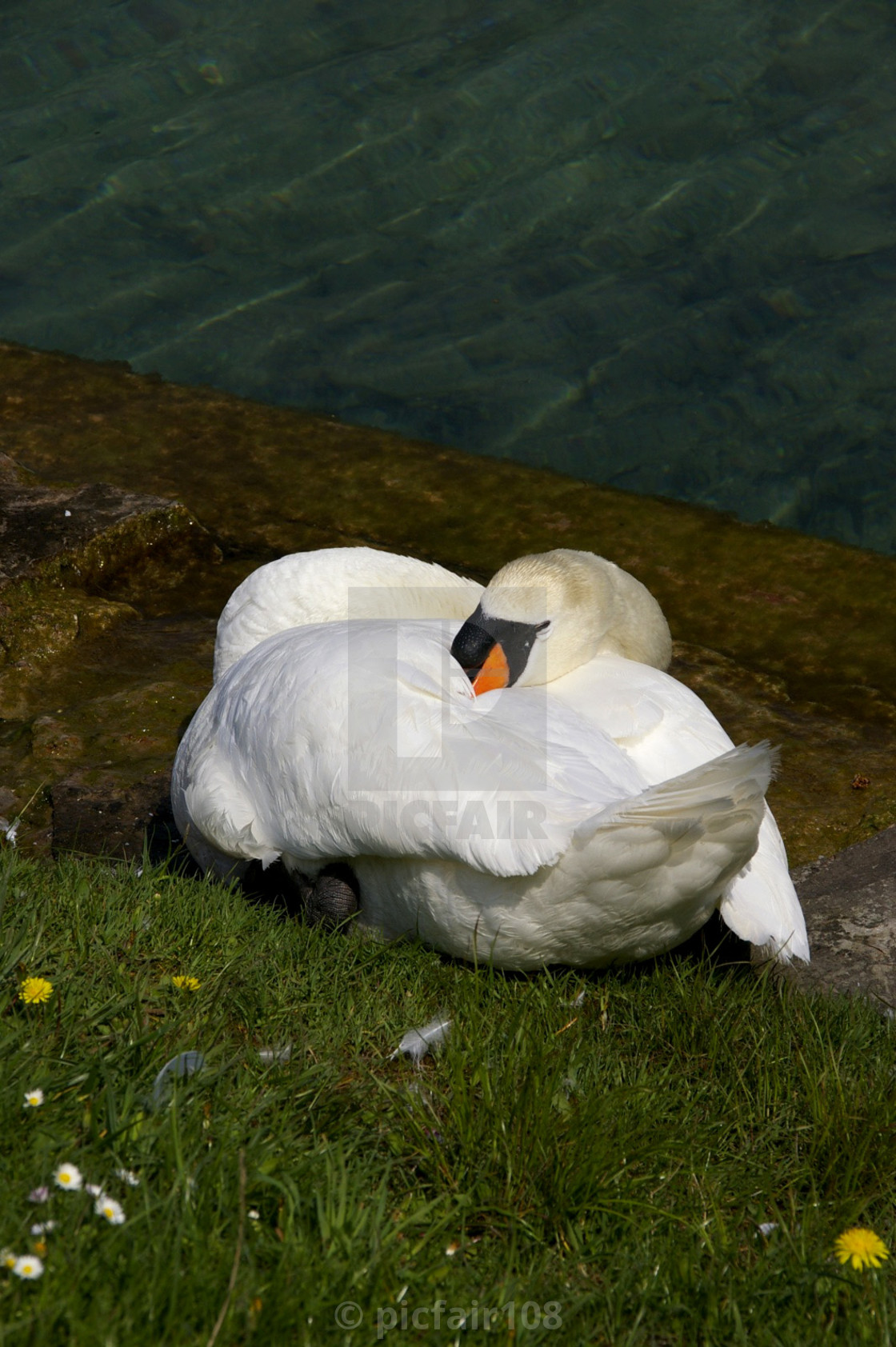 The Sleeping Swans >> Sleeping Swan On A Bank Of The Lake License Download Or Print For
