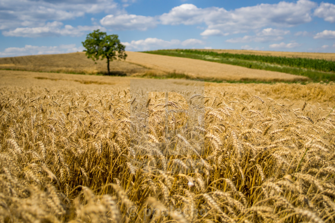 """Wheat and A Tree"" stock image"