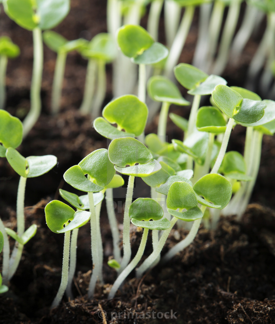 """Basil seedlings"" stock image"