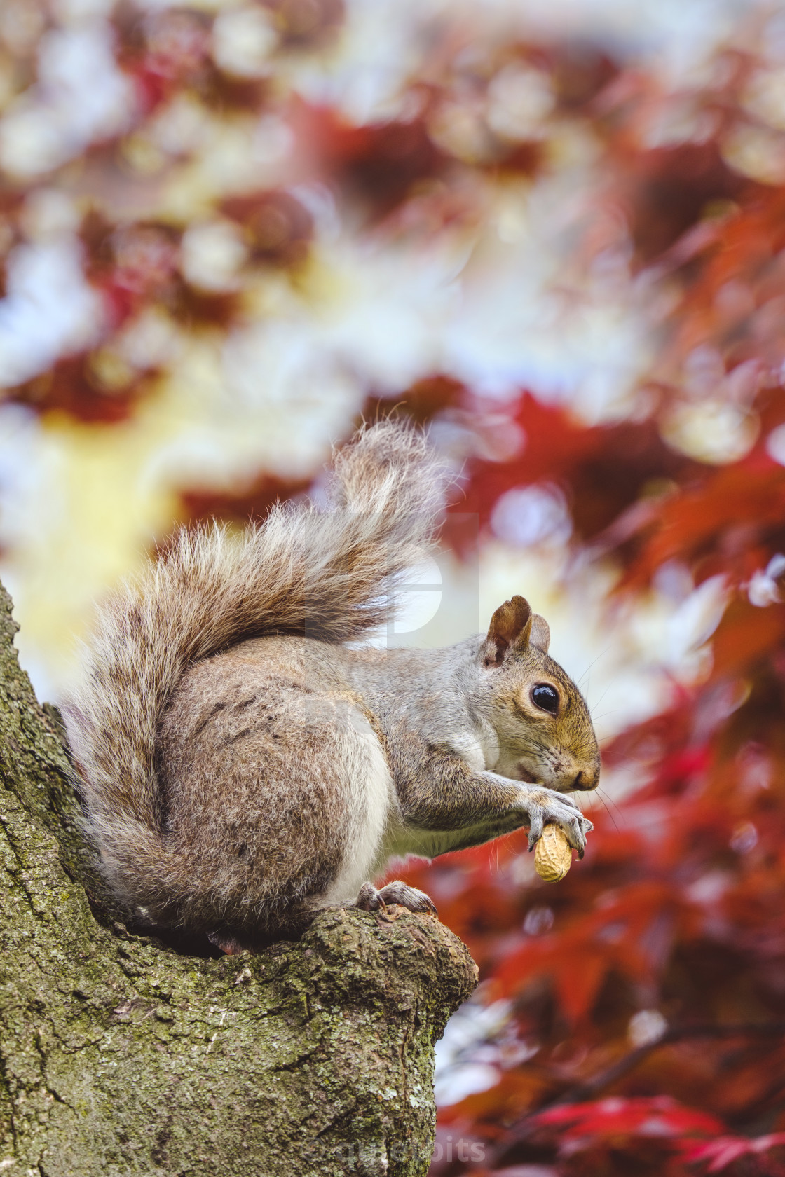 """Gray squirrel eating peanut up in a tree"" stock image"