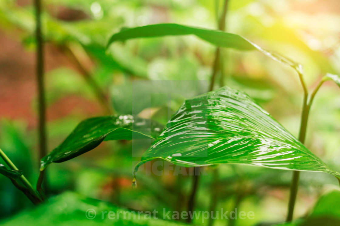 ornamental with rainy season nature license for 12 40 on picfair