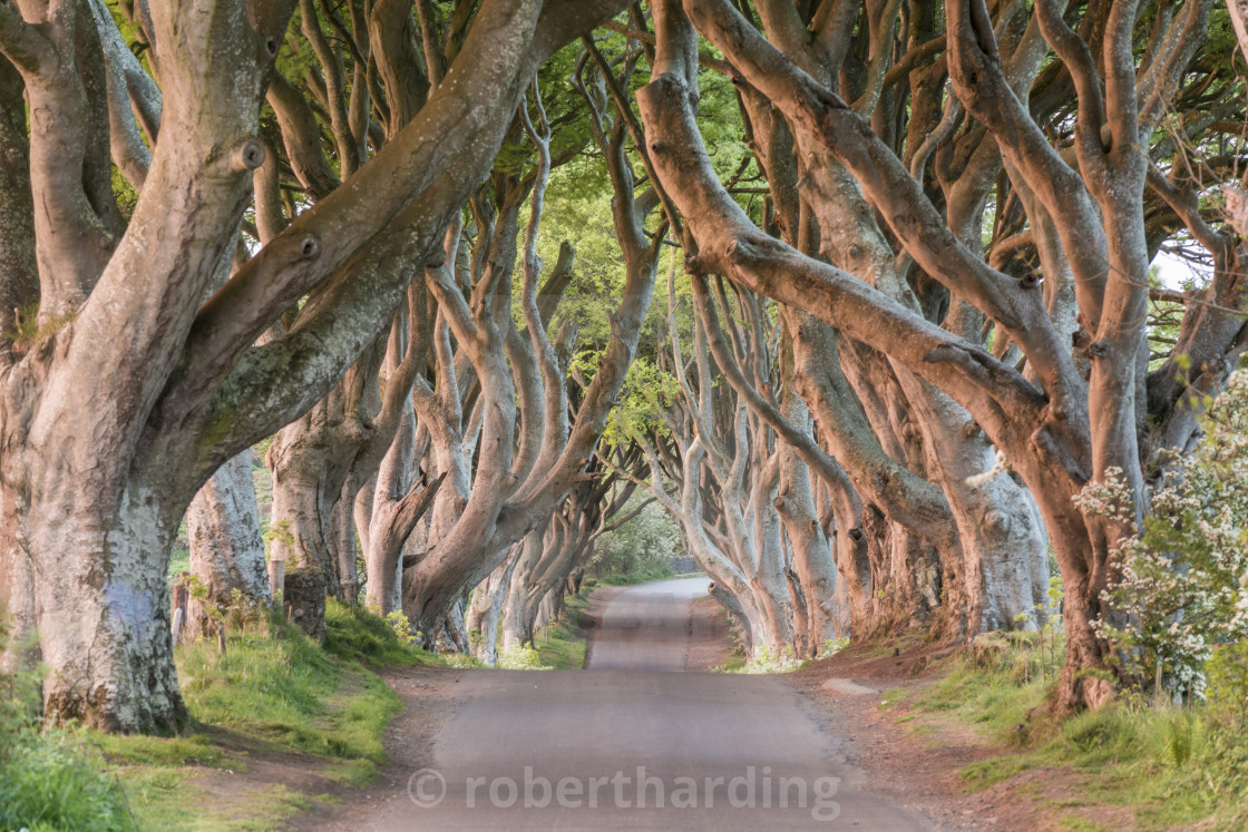 """Dark Hedges near Stanocum, County Antrim, Northern Ireland, UK"" stock image"