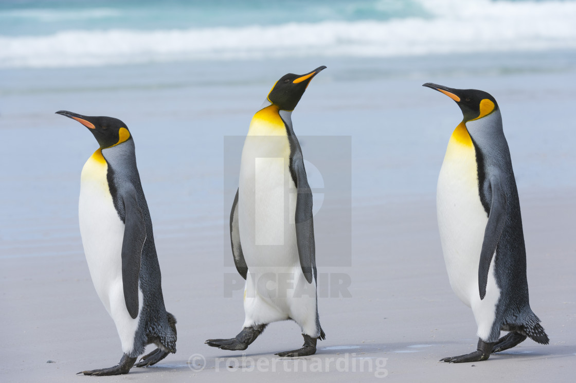"""Three King penguins, Aptenodytes patagonica, walking to the sea on a sandy..."" stock image"