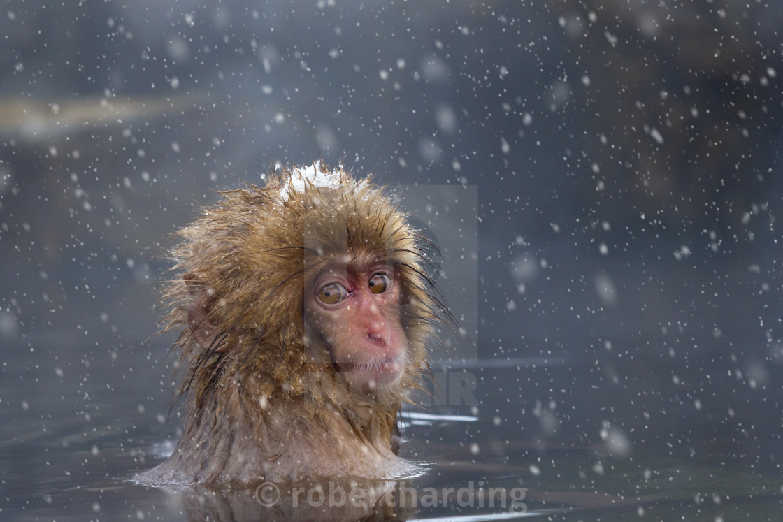 """Japanese macaque or Snow Monkey (Macata fuscata), relaxing in a hot spring,..."" stock image"