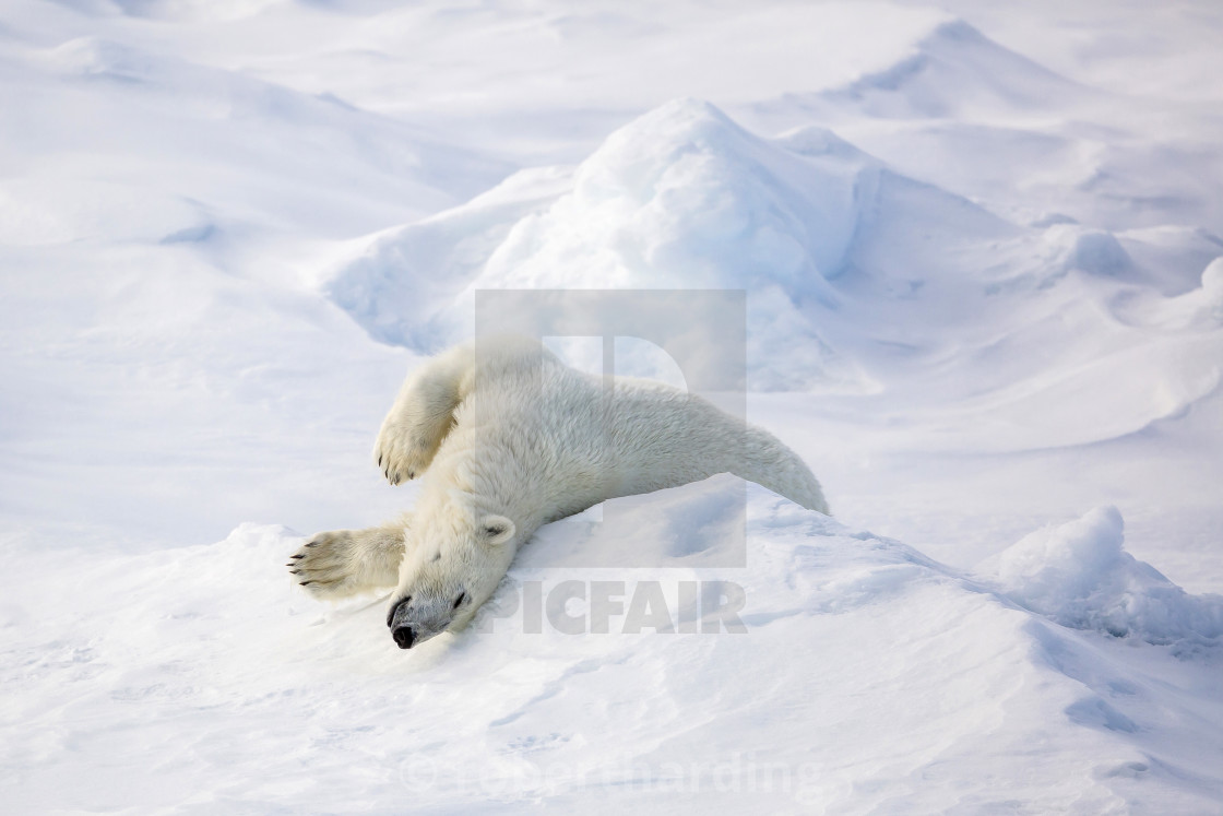 """Adult polar bear (Ursus maritimus) stretching on first year sea ice in Olga..."" stock image"