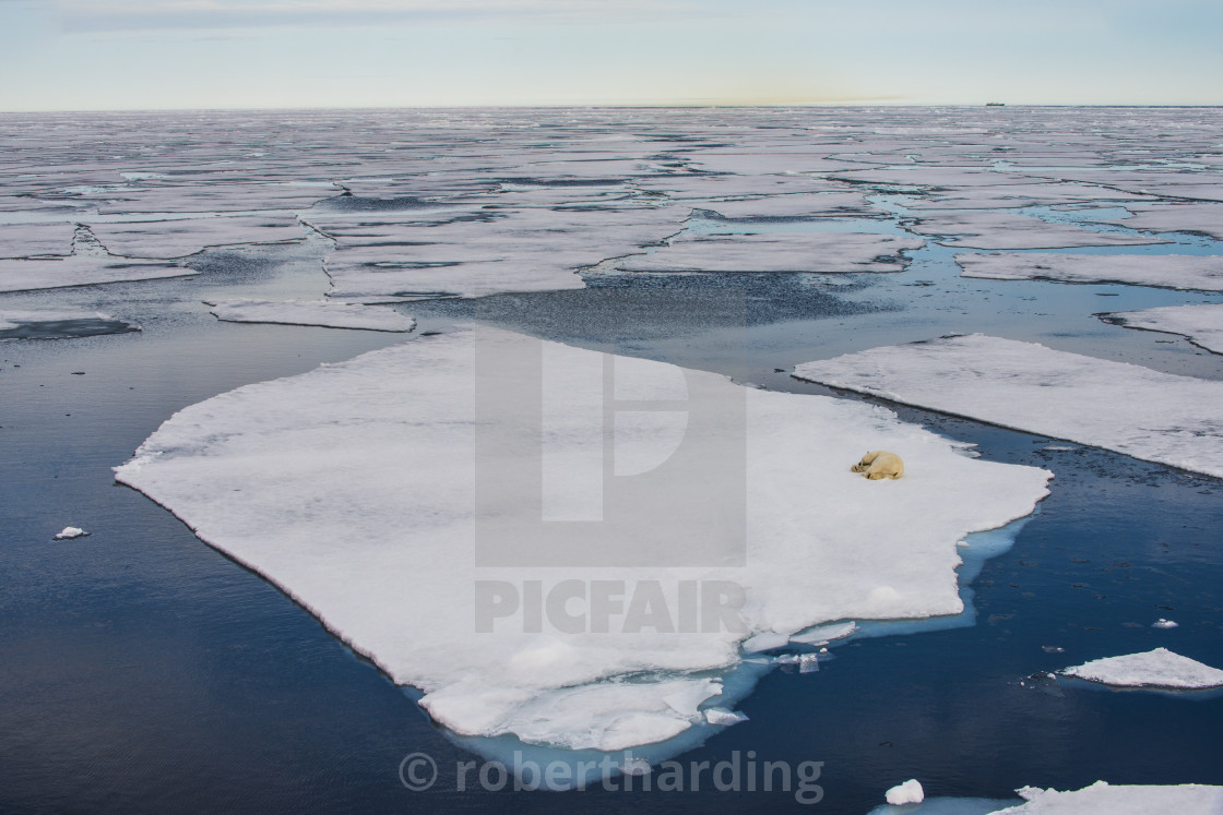 """Polar bear (Ursus maritimus) on an ice floe in the Arctic shelf, Svalbard,..."" stock image"