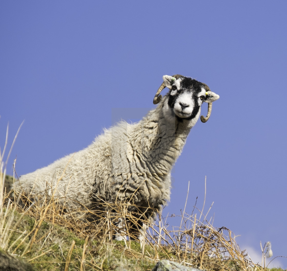 Close Up Of The Traditional Black Faced Swaledale Sheep