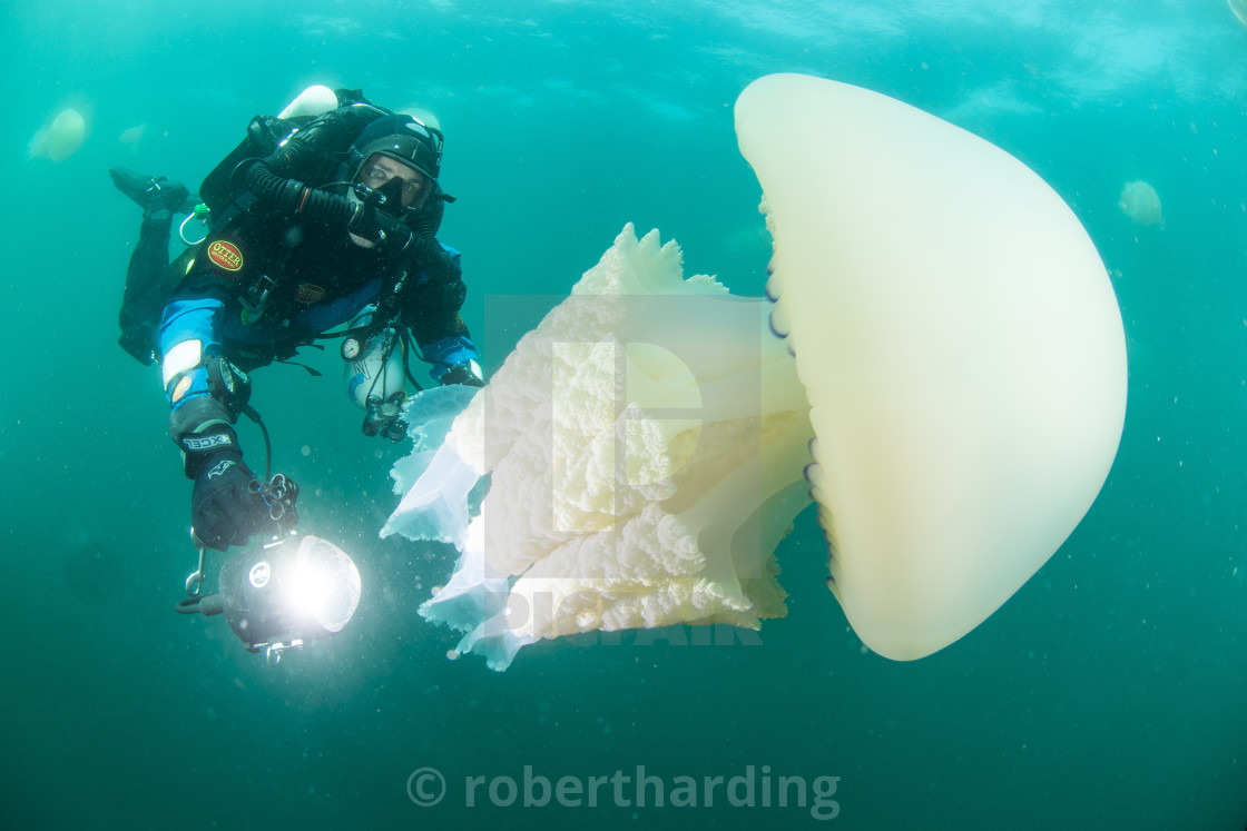 """DIVER WITH GIANT BARREL JELLY FISH OFF THE SOUTH COAST OF THE UK."" stock image"