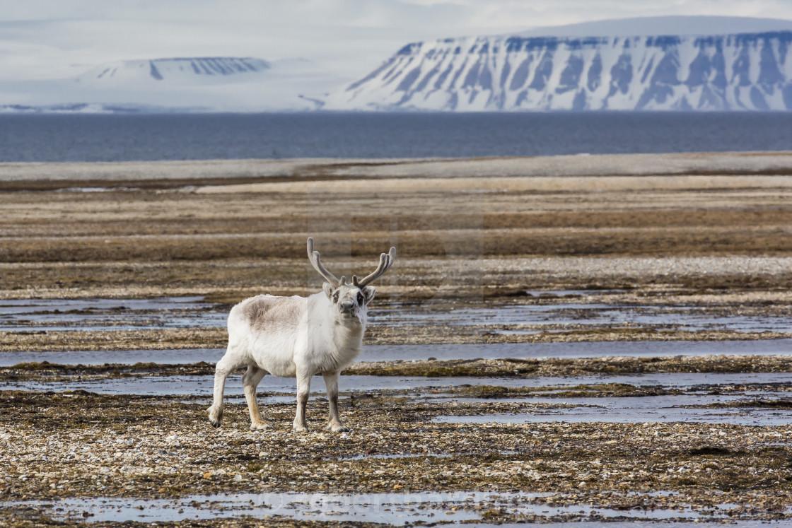 """Adult bull Svalbard reindeer (Rangifer tarandus platyrhynchus), at..."" stock image"