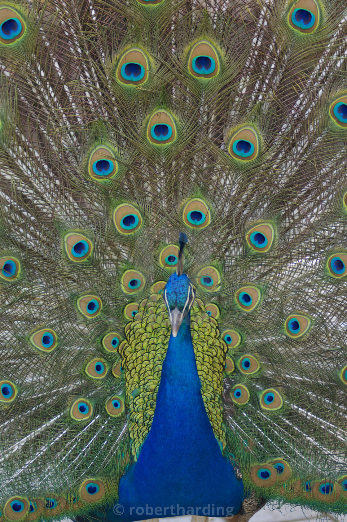 """Peacock displaying tail feathers, United Kingdom, Europe"" stock image"