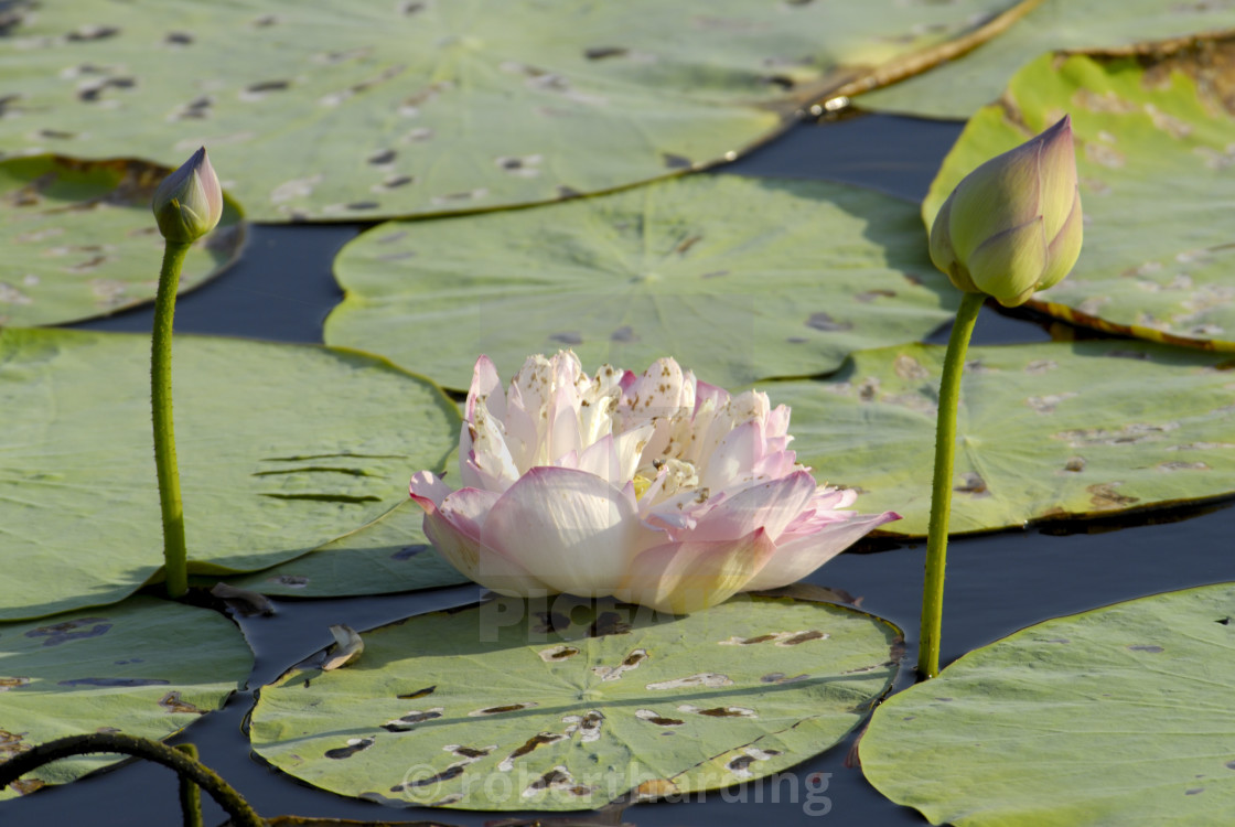 Tamil nadu images picfair search results pond filled with lotus tamil nadu india asia stock image izmirmasajfo