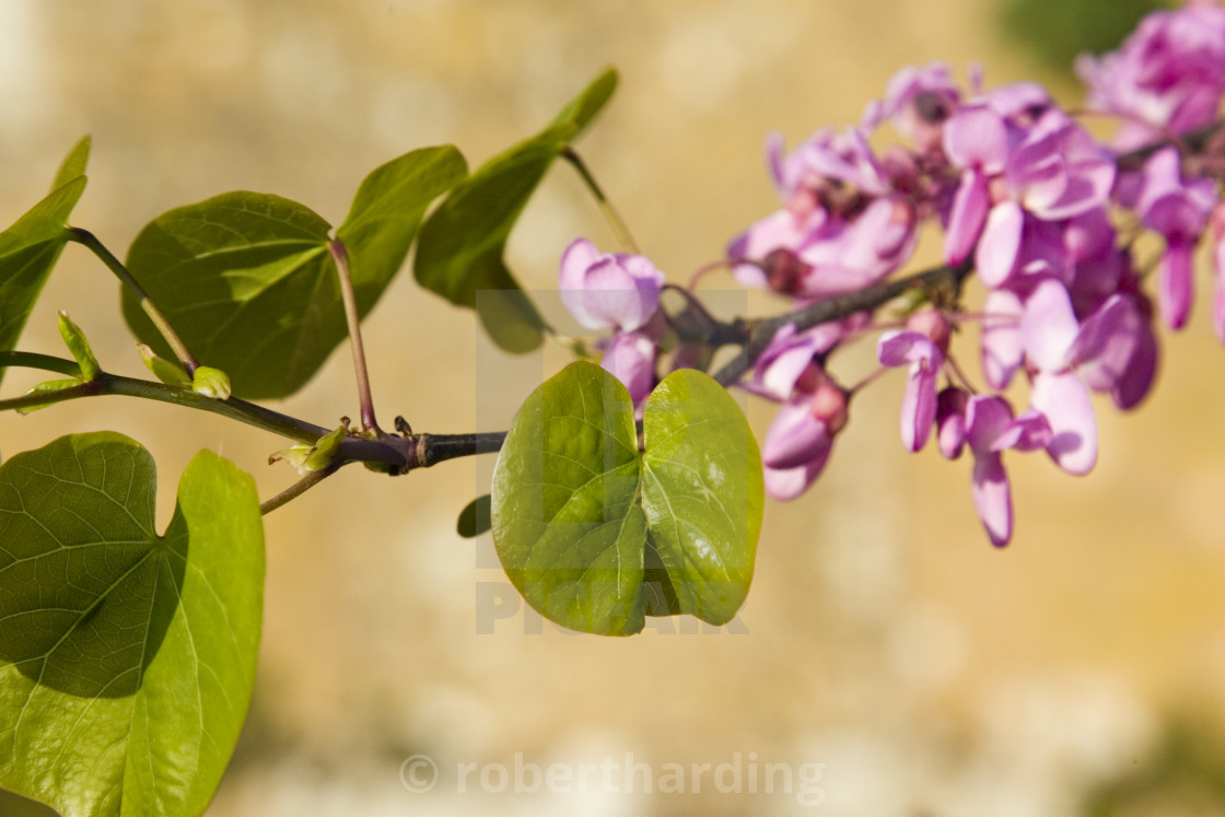 """""""Tree branch thought to be a Judas Tree, Gloucestershire, The Cotswolds,..."""" stock image"""