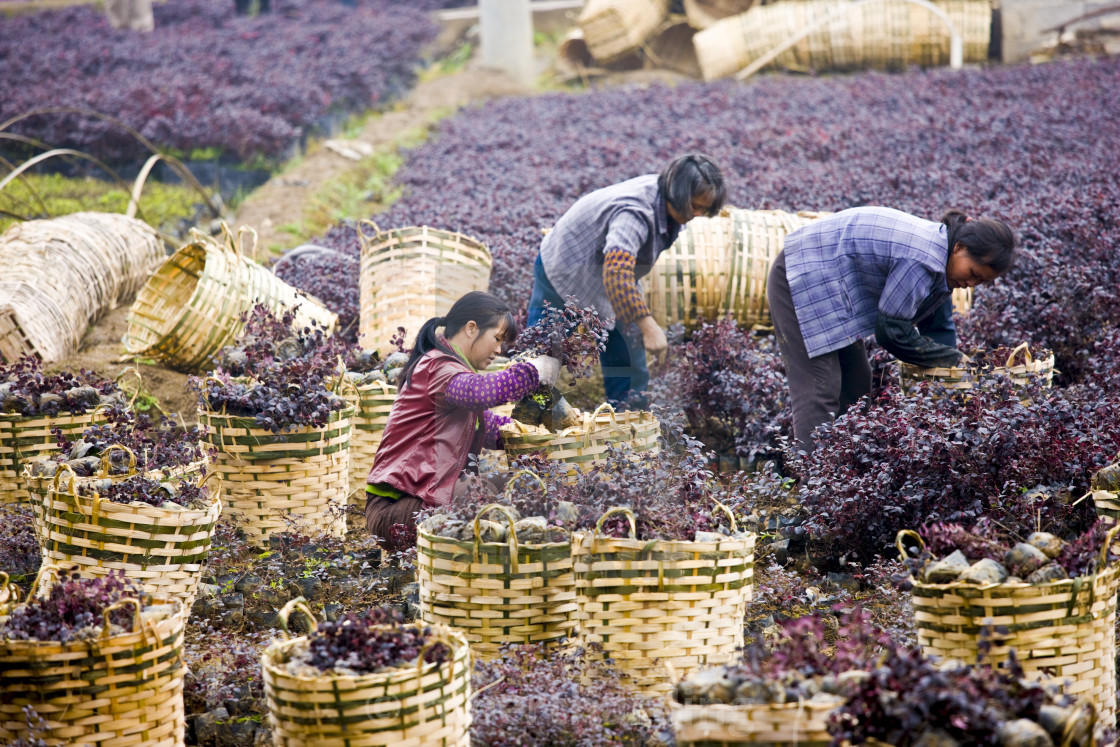 """Women working in plant nursery in market town of Baisha near Guilin, China"" stock image"