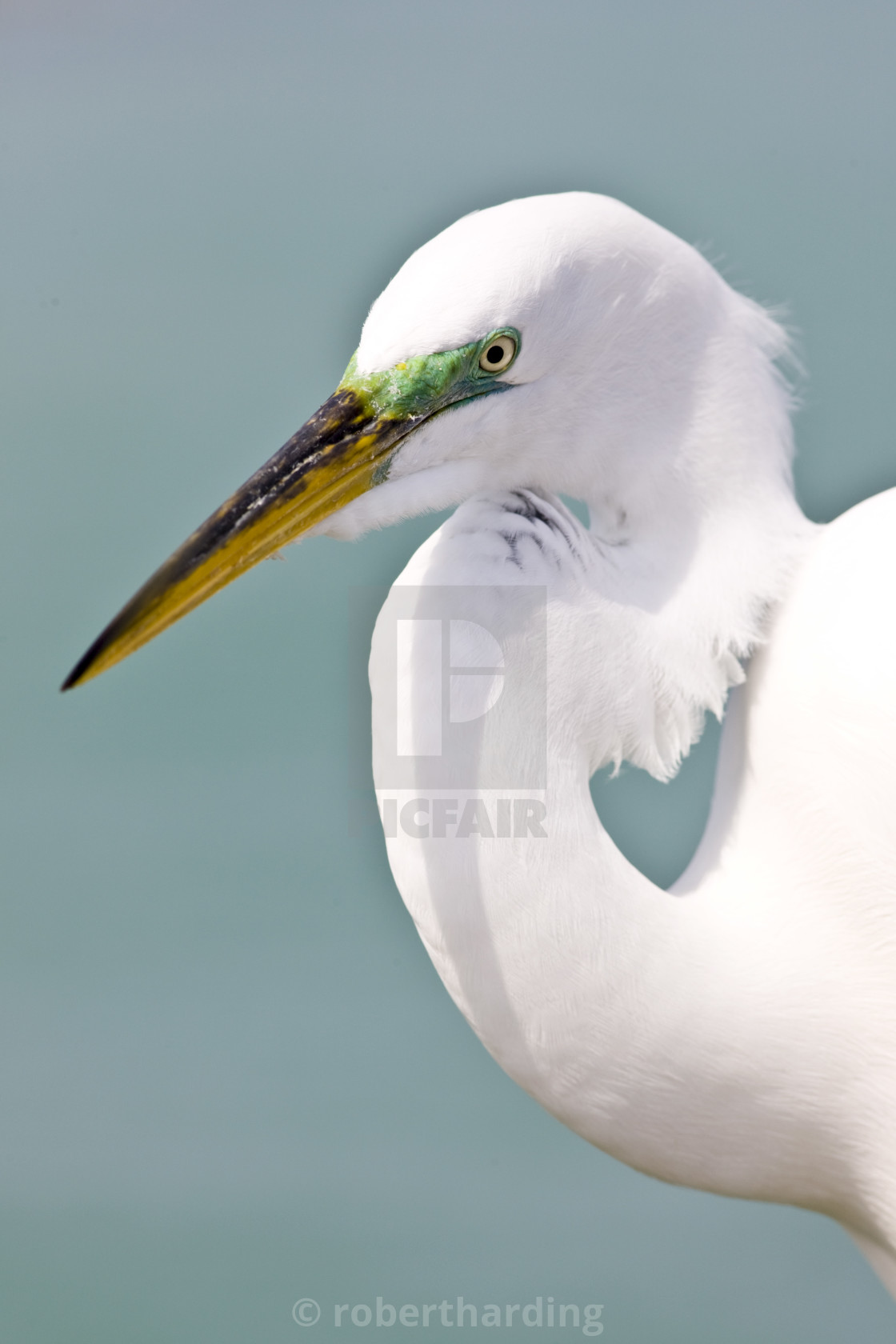"""""""Great Egret, Ardea alba, also known as the Great White Egret or Common Egret..."""" stock image"""