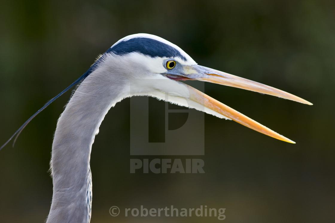 """Great Blue Heron, Ardea herodias, in the Everglades, Florida, USA"" stock image"