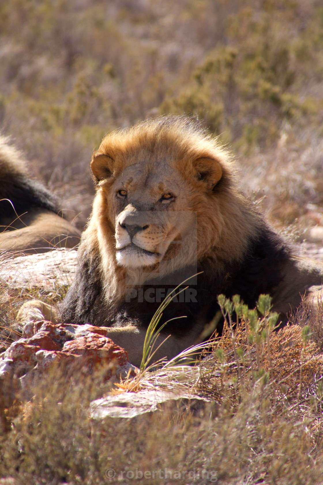 A lion of the Aquila Safari game reserve, Cape Town, South