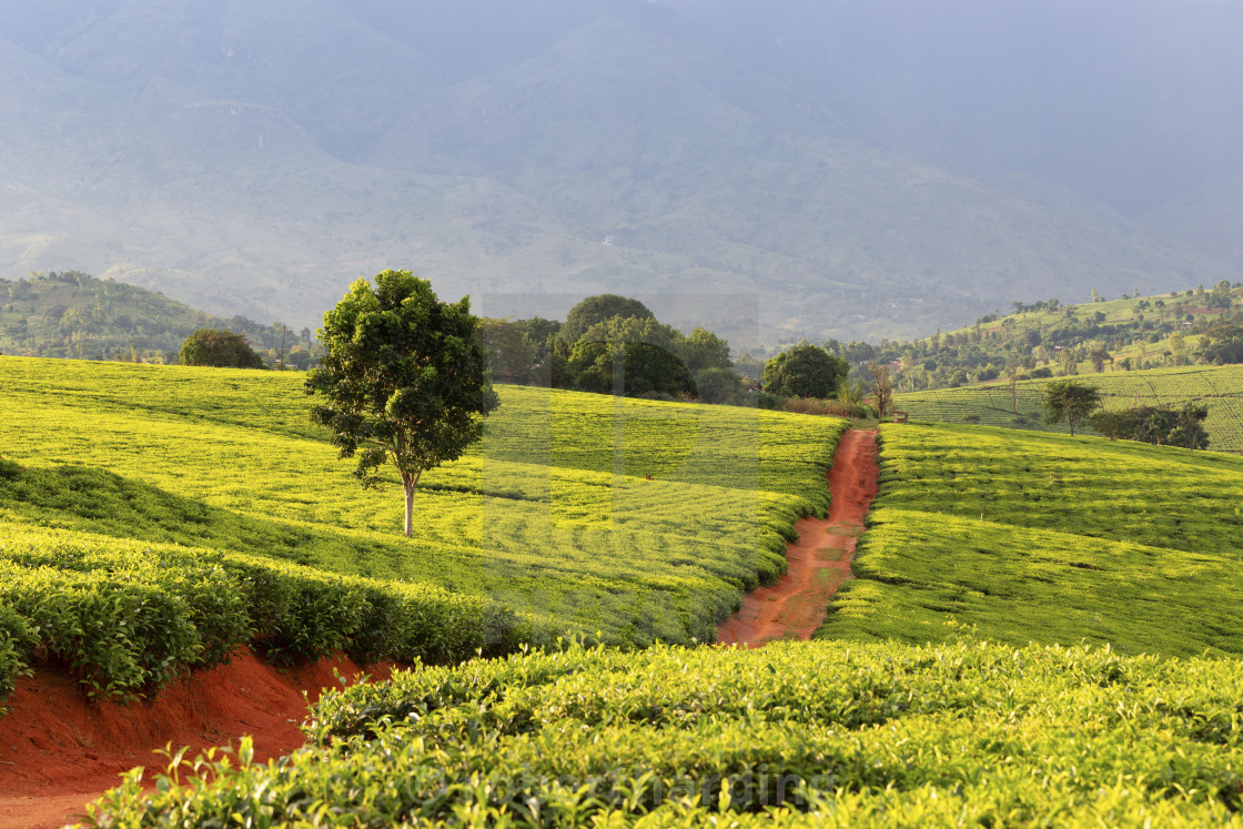 Tea Crops In The South Of Malawi East Africa Stock Image