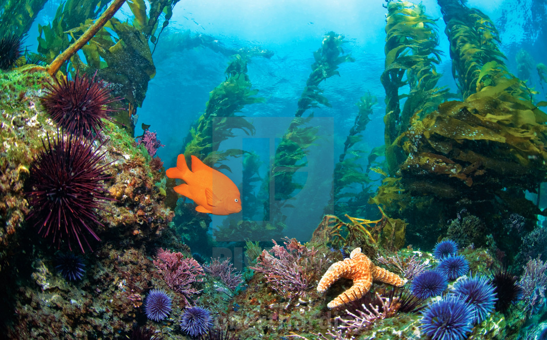 """""""Garibaldi fish (Hypsypops rubicundus) swimming in the kelp forest with..."""" stock image"""