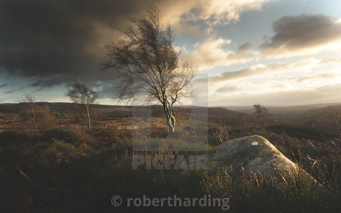 Blustery winds blowing isolated trees in the Peak District