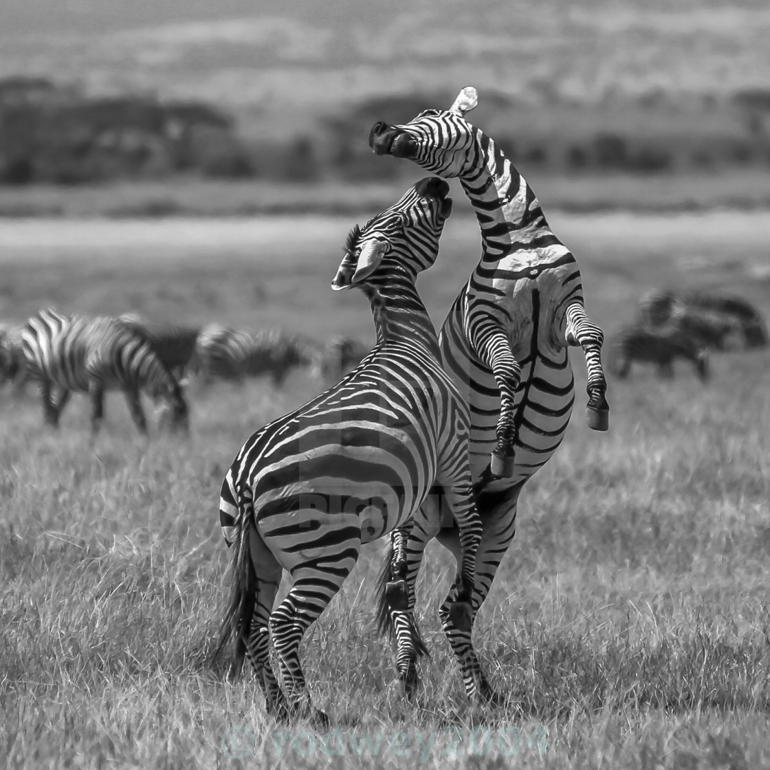 """Zebra Love In Black & White."" stock image"